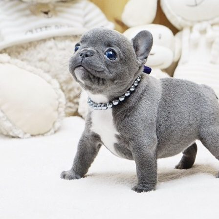 Main Image of Faboo Blue Mini French Bulldog