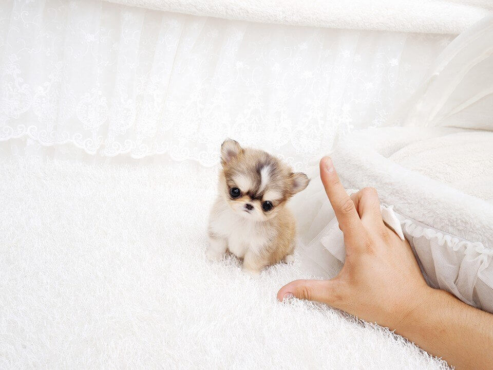 Main Image of Lucy Tiny Teacup Chihuahua