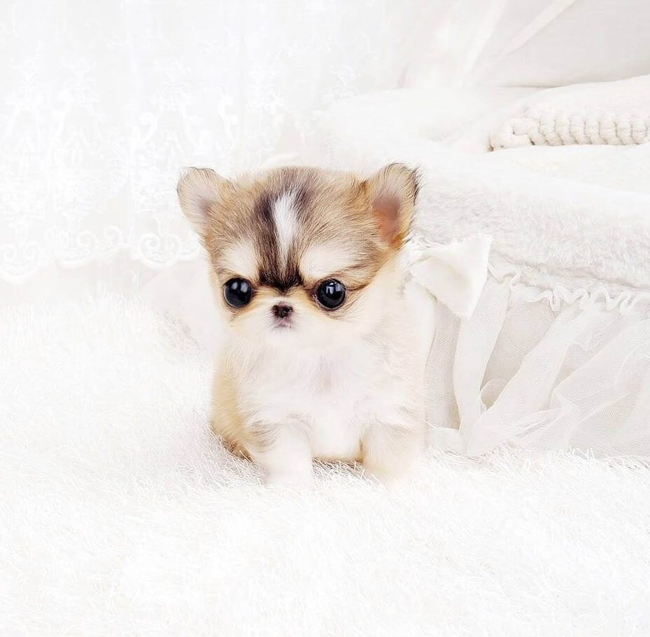 Thumbnail: Lucy Tiny Teacup Chihuahua