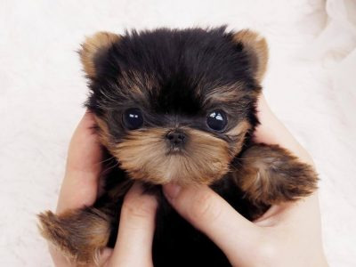 Ashley Teacup Micro Yorkie
