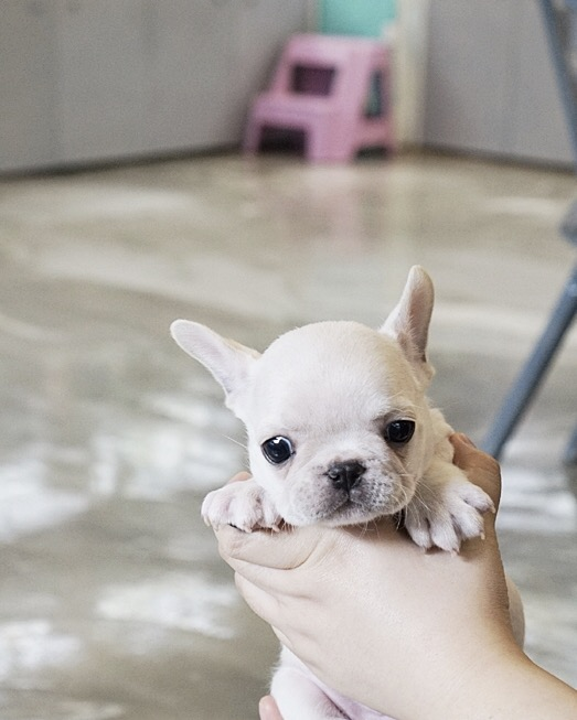 Thumbnail: Finnigan Teacup Frenchie