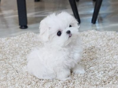 Tiny Teacup Maltese Puppies