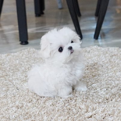 Main Image of Madeline Micro Maltese
