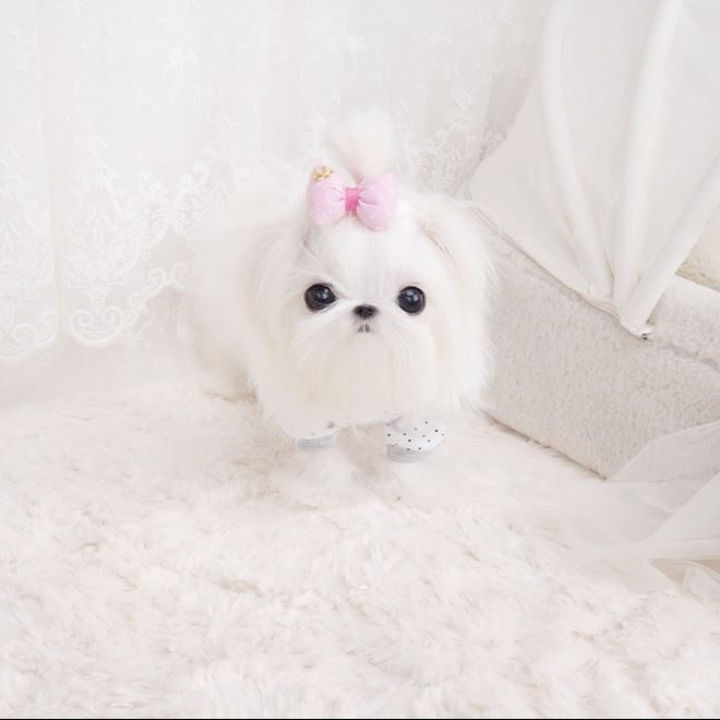 Main Image of Max Micro Teacup Maltese Puppy