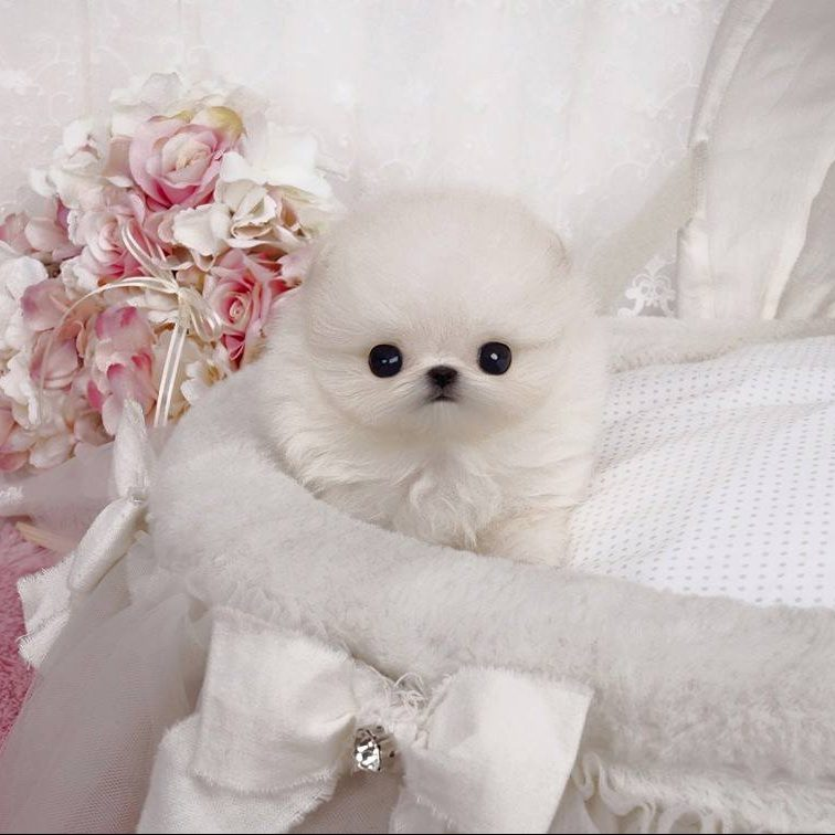 Main Image of Natalie White Teacup Pomeranian