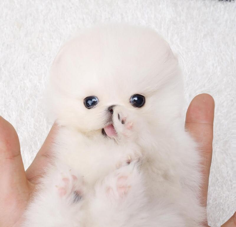 Main Image of Noodles White Micro Teacup Pomeranian