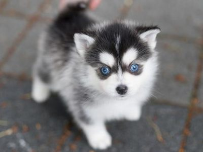 Grace Teacup Pomsky
