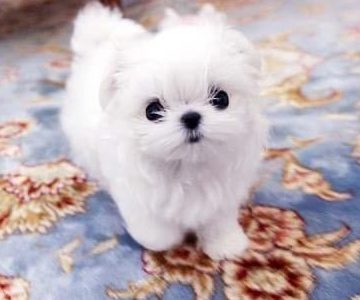 Madge Micro Teacup Maltese
